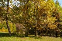 巫山梨子坪鹅掌楸金色的树叶