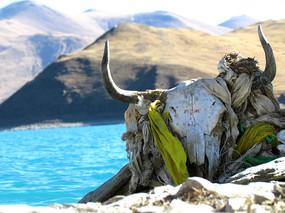 西藏羊卓雍措的牛头