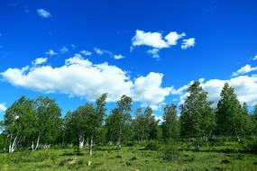 原野白桦林