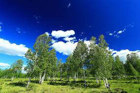 原野桦林云景