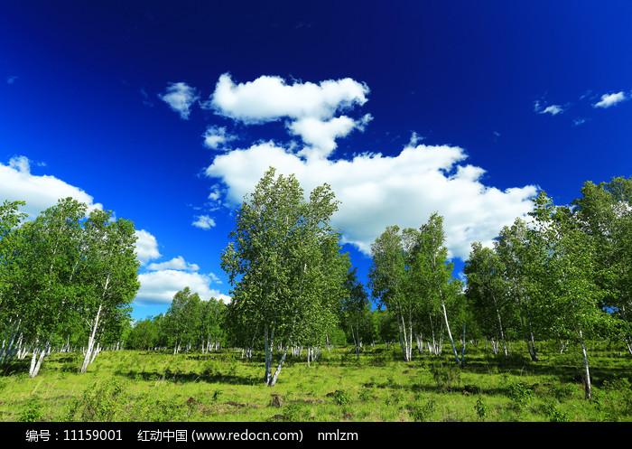 原野绿色白桦风景图片