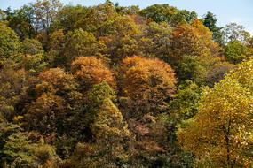 重慶巫山梨子坪秋天轉黃的樹林
