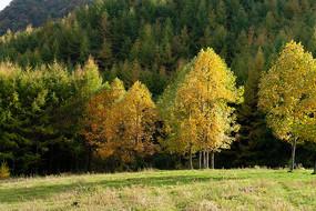 巫山梨子坪金色的秋天