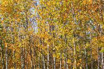 大兴安岭白桦林秋色风景