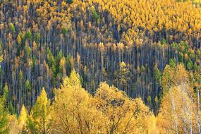 大興安嶺金色樹林風景