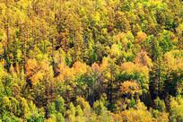 大兴安岭密林秋色风景