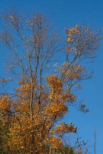 巫山梨子坪森林公园金秋树叶