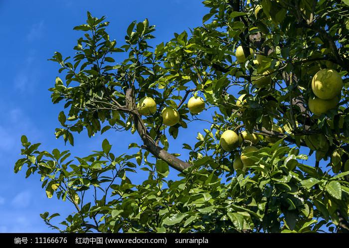 蓝天下挂满果的柚子树图片