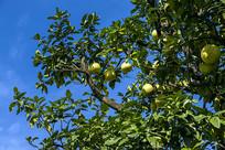 蓝天下挂满果的柚子树