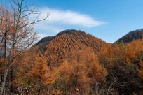 巫山梨子坪金黄色的山峦
