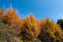 巫山梨子坪蓝天松林