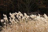 巫山梨子坪枯萎的芒草