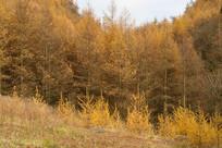 巫山梨子坪林场金黄的松树林