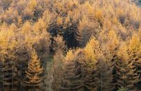 巫山梨子坪林场金黄色森林