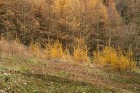 巫山梨子坪林场金色秋季