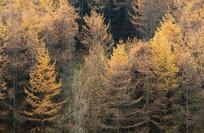 巫山梨子坪深秋松林