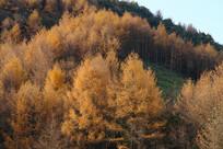 巫山梨子坪林场金色之秋