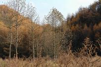 巫山梨子坪林场枯黄的树木