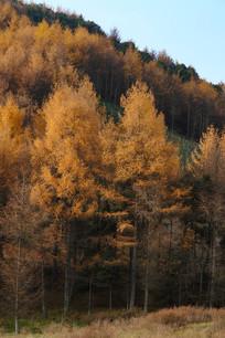 巫山梨子坪林场美丽的落叶松