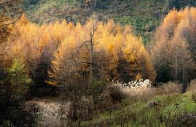 巫山梨子坪针叶林