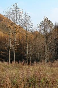 重庆巫山梨子坪林场凋谢的树木