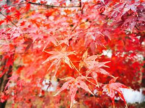 紅色楓葉近景拍攝圖