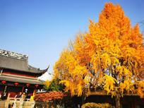 寺庙秋天黄色银杏树叶