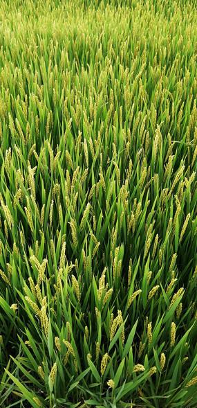 田園風景稻田