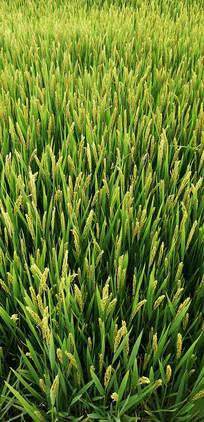田园风景稻田