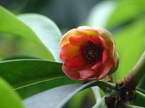五味子科植物红毒茴花朵特写