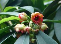 五味子科植物红毒茴开花