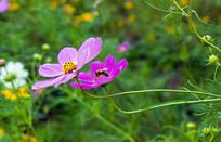 波斯菊和蜜蜂