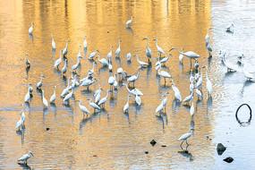 朝阳里河中一群白鹭