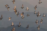 仰拍飞翔的群鸽