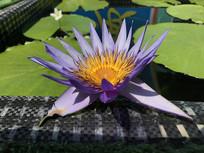 紫莲花图片