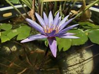 紫色的莲花
