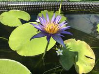 紫色的莲花摄影图片
