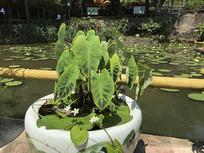 滴水莲盆栽