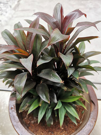 天门冬科观赏植物朱蕉