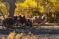 一群骆驼在金色的胡杨林中