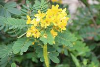 黄色决明花