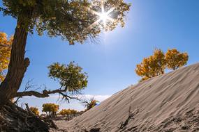 太阳光芒下的大漠胡杨