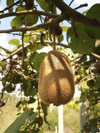 成熟猕猴桃