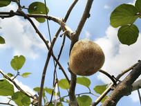 果园猕猴桃