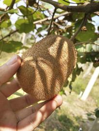 秋天采摘猕猴桃