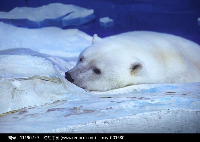 北极熊特写图片