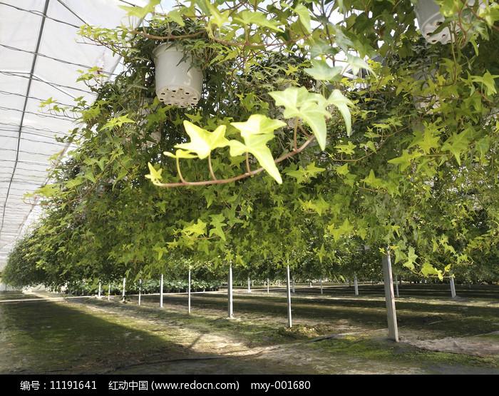 大棚盆栽吊篮图片