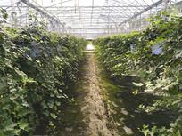 绿叶现代花卉大棚