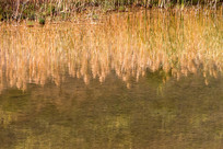河边金黄色的芦苇倒影