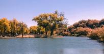 宽幅水边的金色胡杨